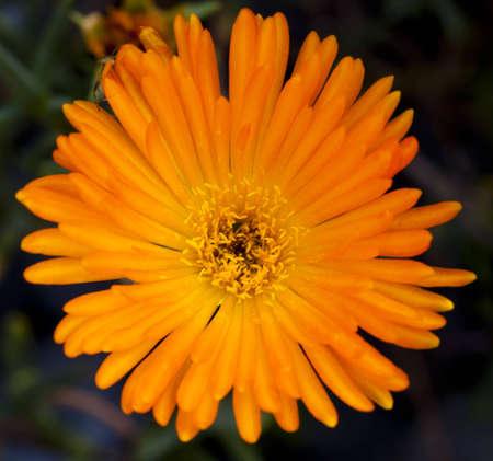 Aizoaceae Carpobrotus flower in a dark background, with small spider peeking,