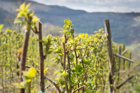fertile land: Raspberry field in western Serbia with mountain Tara in the background