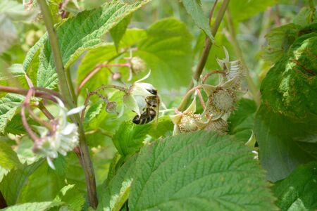 honeybee: Raspberry flowers with honeybee Stock Photo