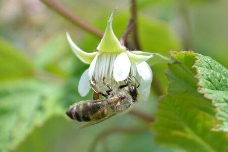 honeybee: Closeup of honeybee on flower Stock Photo
