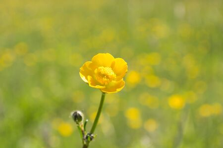 folwer: Yellow flower with the blurred folwer field in the background