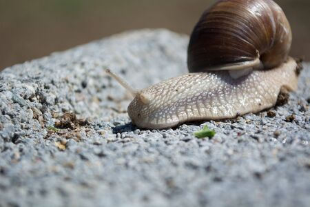way of living: Snail on the concrete block in search for food. Sunny day Stock Photo