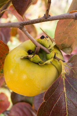 diospyros: Diospyros kaki fruit on the tree branch in the autumn