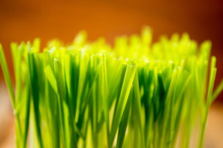 Green wheat in cup. Fresh wheat plant composition
