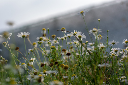Closeup shot of camomile in the field on the sunny day