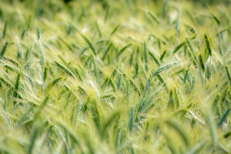 Closeup of green wheat fields on a sunny day with shallow depth of field