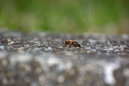 Close-up of Honeybee perched on Concrete wall collecting water Stock Photo