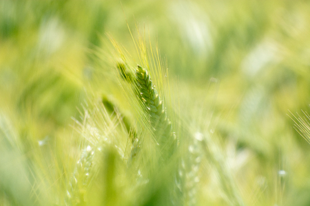 Closeup of green wheat fields on a sunny day with extreme shallow depth of field