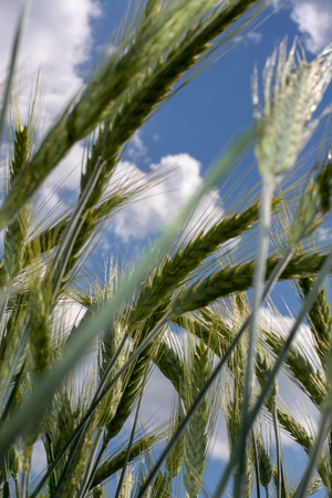 Closeup of green wheat fields on a sunny day with shallow depth of field, with blue sky in the background