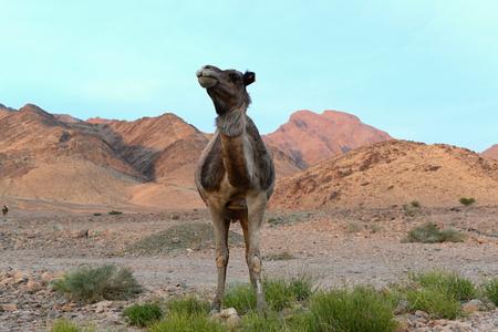 erg: Camels in desert near Erg Chigaga. Stock Photo