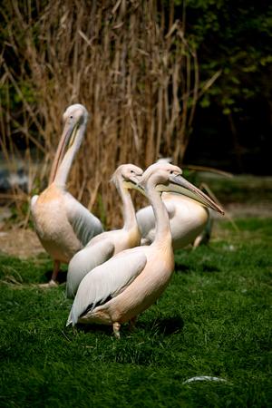 swoop: pelican in Prague ZOO in Czech republic