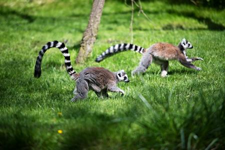 monkies: Lemur in Prague ZOO in Czech republic Stock Photo