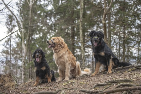 nice dog hovawart guarding breed from germany Stockfoto
