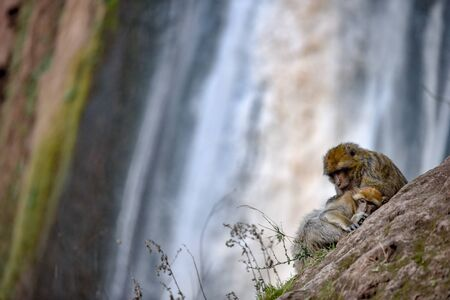 macaque monkeys near ouzoud watterfall