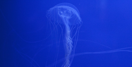 jellyfish medusa blue marine photo