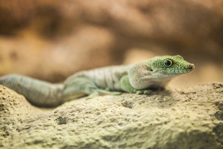exotic lizard  photo