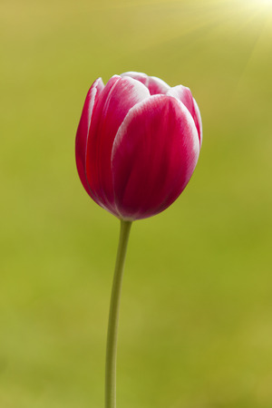 feld: colorfull tulipan flower isolated on green background Stock Photo