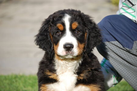sennen: Beautiful Bernese Mountain Dog Puppy