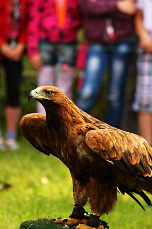 aquila reale: Golden Eagle