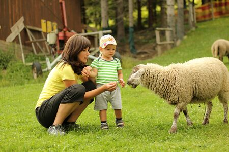 tame: Mother and son feeding the tame sheep