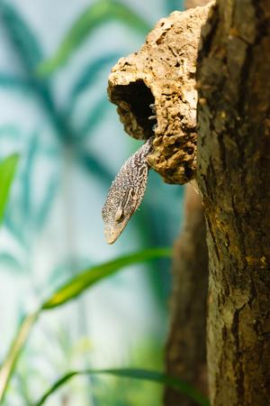 varanus: Varanus macraei (Shallow DOF). Stock Photo