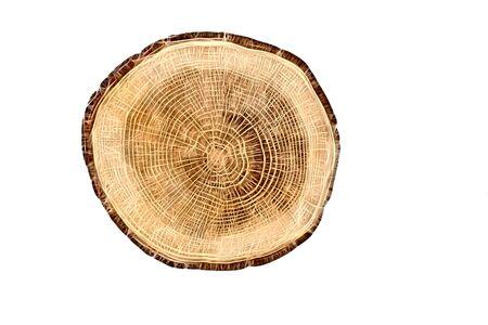lumber: detailed sectional view of the tree (white background) - Computer draw Stock Photo