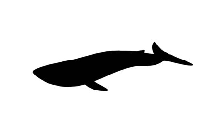 baleen whale: whale silhouette on a white background