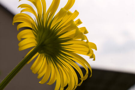 Yellow flower - under-perspective photo