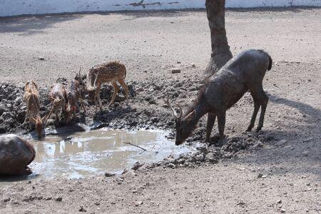 group of deer, sika deer, roe deer drinking water in the pond of national park in summer day