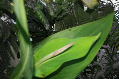 Canna lily, coccinea, Canna indica Big leaves plant blooming, green nature, growing in an organic home garden