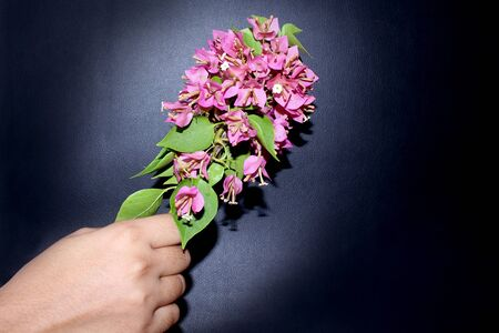 hand holding pink bougainvillea flowers creative background image