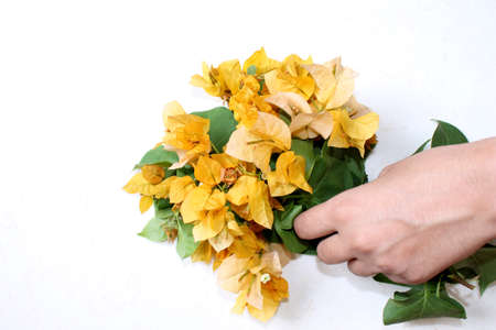 hand holding bougainvillea flower bunches, yellow spring flower greeting card background on white background, selective focus with blur. 스톡 콘텐츠
