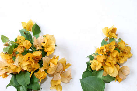 yellow spring flower greeting, summer spanish bougainvillea flowers card background with blank text space over on white, selective focus with blur.