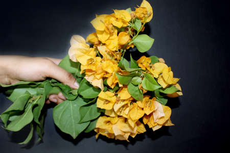 hand holding bougainvillea flower bunches, yellow spring flower greeting card background on black background, selective focus with blur. 스톡 콘텐츠