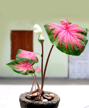 Caladium bi color with pink leaf and green veins (Florida Sweetheart), Colorful ornamental leaves of Angel Wings or Heart of Jesus and elephant ear, beautiful plant background, selective focus with blur.