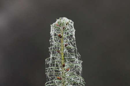 arachnoid: ramo di abete rosso coperto da web con gocce d'acqua Archivio Fotografico