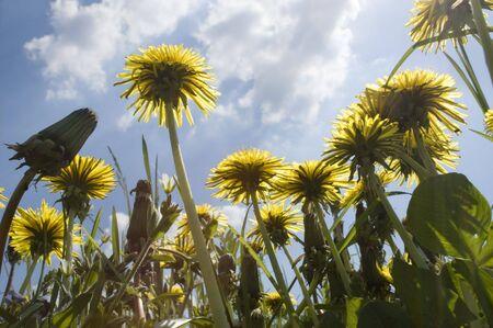 dandelions on meadow Stock Photo - 3051183
