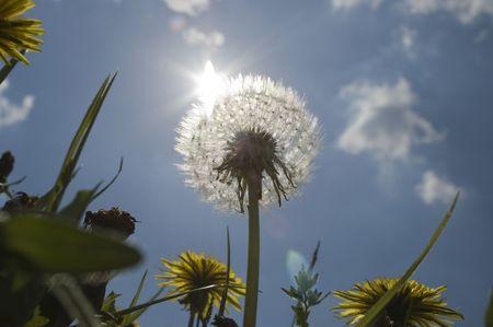 against the sun: dandelion clock on meadow against sun Stock Photo