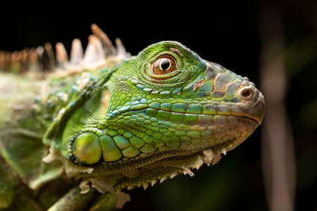Green Iguana Face Eye Scales Close-up Texture