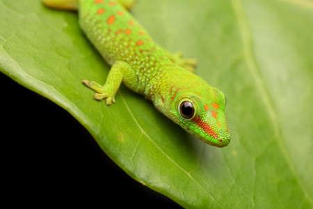 Green Day Gecko on Leaf Cute