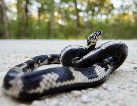 Eastern King Snake on Road Forest