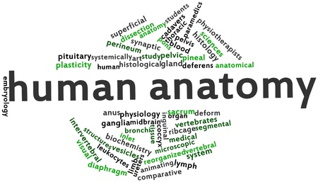mammary: Abstract word cloud for Human anatomy with related tags and terms Stock Photo