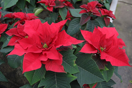 Poinsettia flowers. Christmas star flowers. Field of red Christmas star flowers in greenhouse for sale. Background texture photo of Christmas star flowers, floral pattern Stock Photo