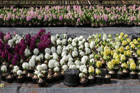 Hyacinth . Field of colorful spring flowers hyacinths plants in pots with bulbs in greenhouse on sunlight for sale. Floral pattern. Background texture photo of hyacinth flowers. Variety of flower bulbs field Stock Photo