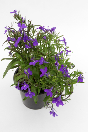 Lobelia. Blue Trailing Lobelia Sapphire flowers or Edging Lobelia, Garden Lobelia in pot on isolated white background. Floral pattern. Flowers background