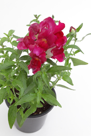 Antirrhinum. Snapdragon (Antirrhinum majus) flower in pot isolated on white background for sale, decorations or gift. Antirrhinum in pot. Floral pattern. Flowers background