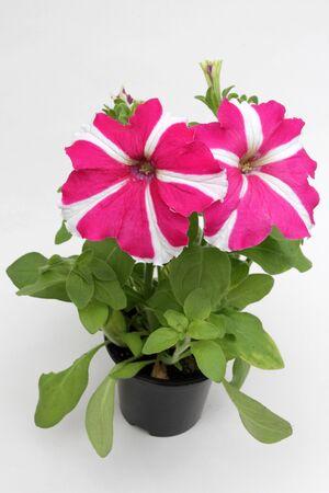 Petunia. Petuniabloem op witte achtergrond wordt geïsoleerd die. Bloemenpatroon.
