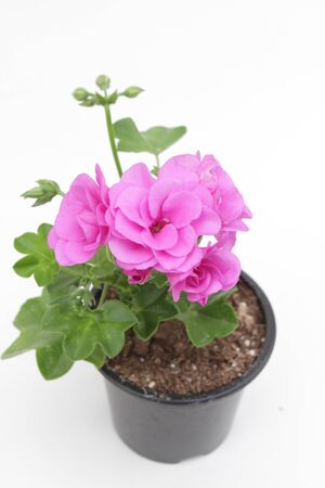 Pelargonium peltatum. Pink Geranium isolated on white background. Pink pelargonium with green leafs in pots for sale. Floral pattern. Flower background