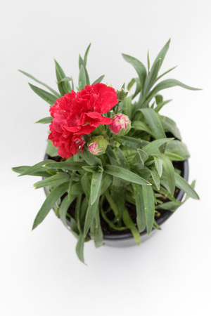 Carnation. Carnation with green leafs and flower buds in pot for decoration or gift isolated on white background. Floral pattern. Flower background