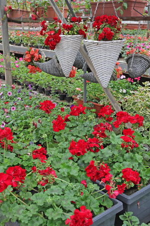 Colored pelargonium field with hanging pots. Field of red ivy geranium and for sale. Hanging pots with flowers for decoration or gifts. Floral pattern. Flower background Stock Photo